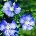 Beautiful flax seed flower